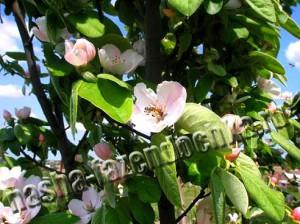 айва, саженец плодового дерева