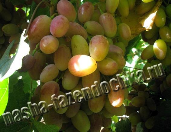 виноград, посадка винограда
