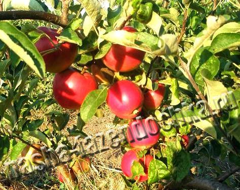 Карликовые деревья, карликовая яблоня