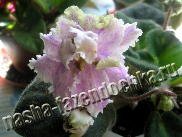 фиалка, сенполия, комнатный цветок