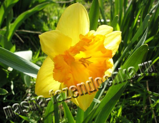 Нарцисс - ранний весенний луковичный цветок