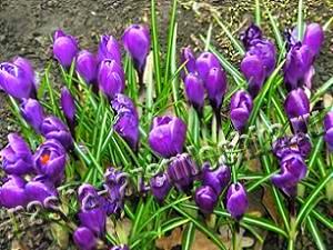 Крокусы - ранние весенние луковичные цветы