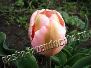 Тюльпаны – ранние весенние цветы