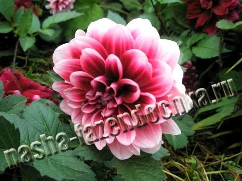 георгин - многолетний декоративный цветок, посадка и уход
