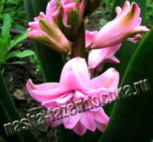 Гиацинты - весенние декоративные луковичные цветы