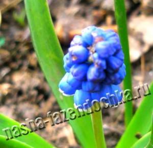Мускари - многолетние неприхотливые мелколуковичные ранние весенние цвеускари - многолетние неприхотливые мелколуковичные ранние весенние цветы