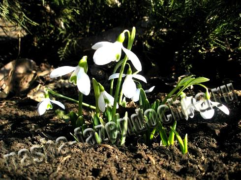 подснежники, ранние мелколуковичные весенние цветы