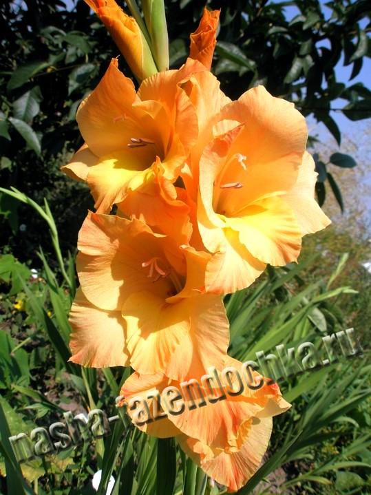 Гладиолусы – многолетние декоративные цветы,украшение клумбы. Посадка и уход