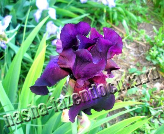 ирисы - неприхотливые, очень декоративные цветы