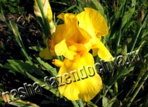 ирис - неприхотливый, очень декоративный цветок