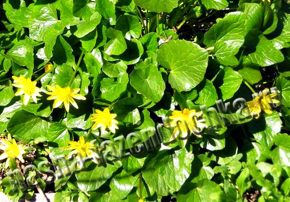 Калужница - многолетний неприхотливый почвопокровный цветок
