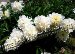Травянистые пионы - декоративные многолетние цветы