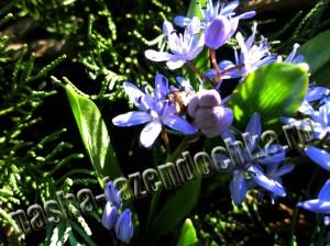 Пролески (подснежники) - ранние весенние цветы