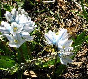 Пушкиния - неприхотливые весенние цветы