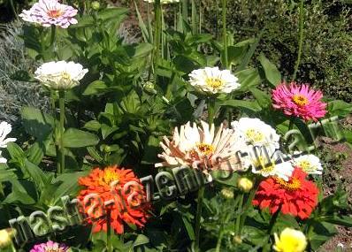 Циннии (майоры) - однолетние неприхотливые растения с цветами разной расцветки