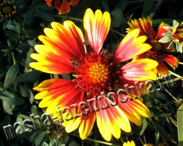 Гайлардия - многолетний, неприхотливый, засухоустойчивый, декоративный цветок