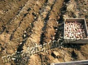 Картофель, посадка картофеля мотоблоком