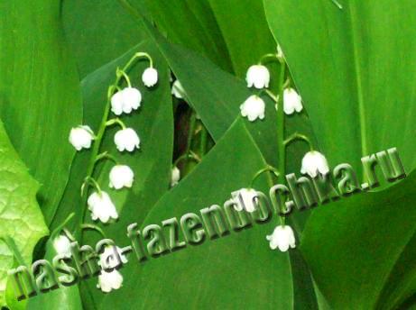 Ландыш – прекрасное растение для тенистых мест
