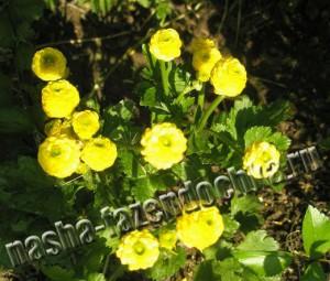 Лютик (ранункулюс) - выращивание, уход, размножение