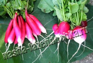 Редис – ранний весенний овощ