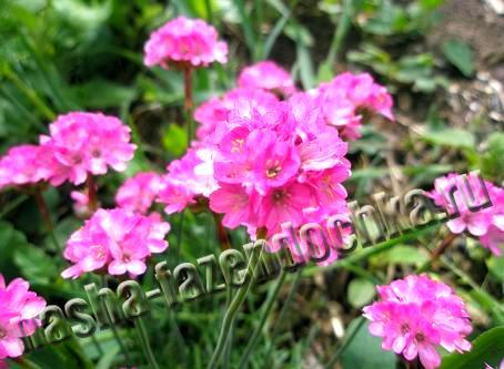 Армерия - неприхотливый многолетний засухоустойчивый цветок