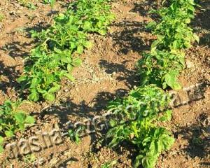 Уход за картофелем - окучивание, полив