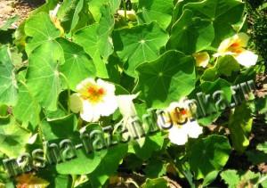 Настурция - неприхотливый, красивый и полезный однолетний цветок