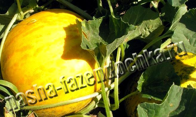 Дыня - бахчевая культура семейства тыквенных. Выращивание дыни