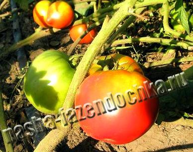 Разновидности томатов (помидоров)