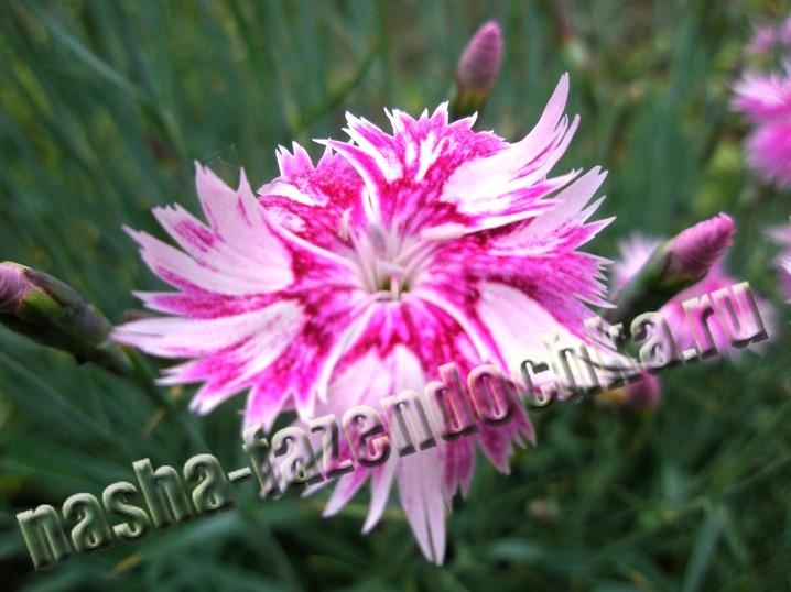 Гвоздика перистая - неприхотливый, декоративный многолетний цветок