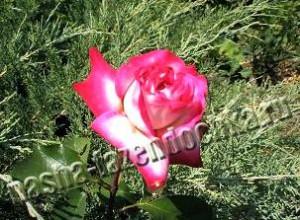 Привитые и корнесобственные розы - преимущества и недостатки