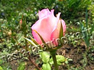 посадка розы