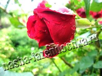 роза, выбор саженца розы