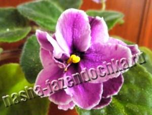 сенполия, фиалка, комнатные цветы