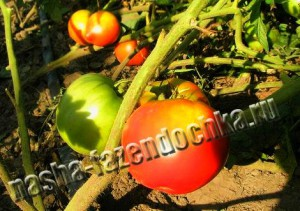 Салат, томат (помидор)