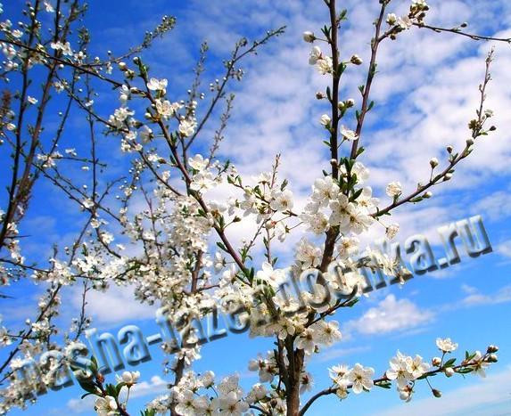 цветут деревья