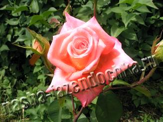 растения, роза, цветок
