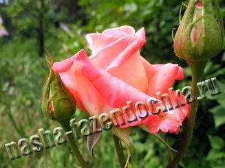 роза, классификация