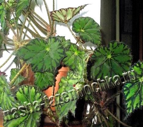 Комнатные растения, бегония - неприхотливый декоративно-лиственный комнатный цветок