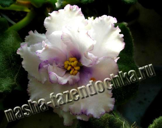 фиалка, сенполия, цветы