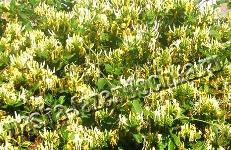 жимолость каприфоль, декоративная, зимостойкая, лиана, красивая, ароматные цветы