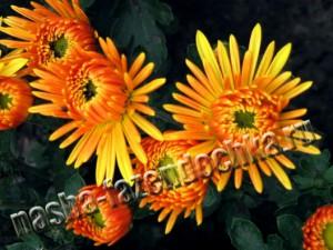хризантема - многолетний красивый осенний цветок