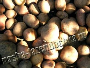 картофель, борьба с вредителями, проволочник