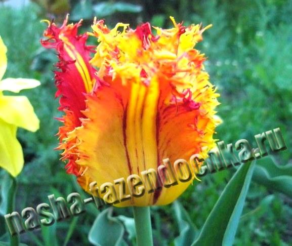 тюльпаны - ранние весенние луковичные цветы