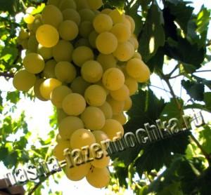 виноград, укрываем виноград