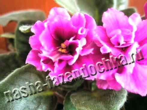 фиалки (сенполии) - омоложение старых растений
