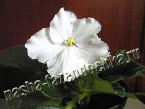вредители комнатных растений, цикламеновый клещ,