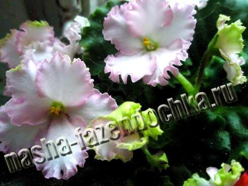 фиалка (сенполия), освещение комнатных растений