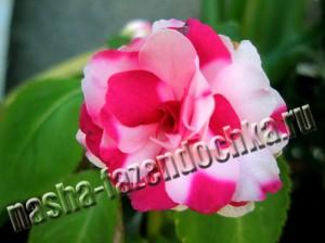 Бальзамин комнатный — красивоцветущее неприхотливое растение
