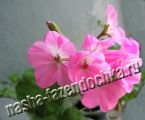 пеларгония (герань) - пересадка и размножение из семян или черенками